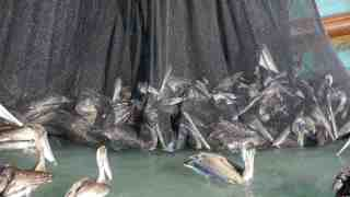 Pelicans sentenced to death in net