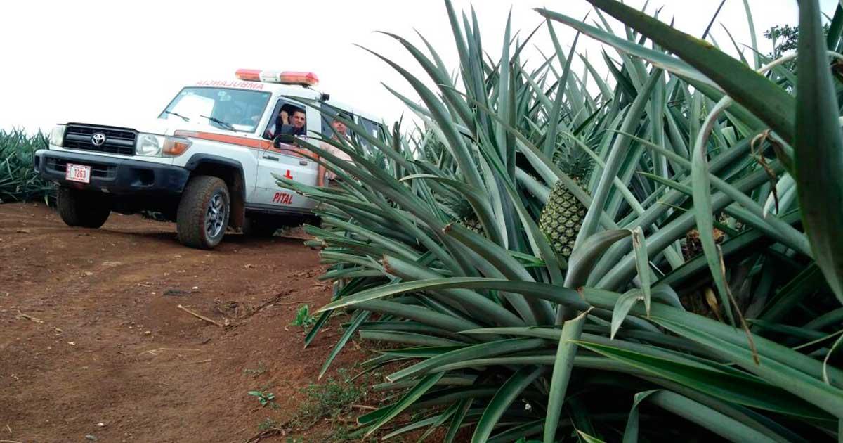 Cruz Roja de Pital se convierte en pequeño productor de piña para financiar operaciones