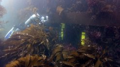 diver in a kelp forest