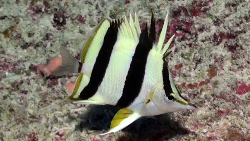 Pete Basabe's Butterflyfish (Prognathodes basabei Pyle and Kosaki 2016) at a depth of 220 feet off Pearl and Hermes Atoll, Northwestern Hawaiian Islands. Credit: Richard L. Pyle / Bishop Museum