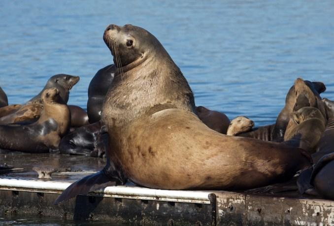 Steller Sea Lion in Moss Landing