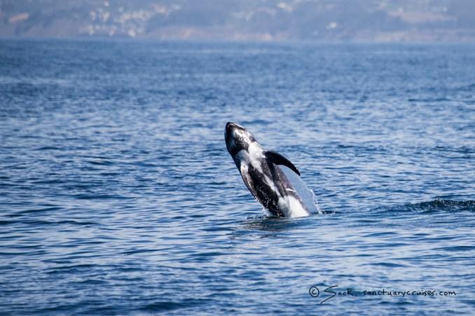 Monterey Bay Risso's Dolphin