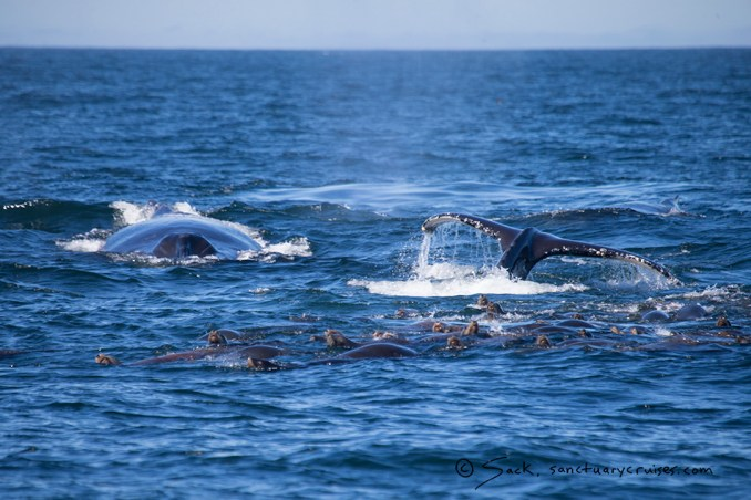 Moss Landing Feeding Humpback Whales
