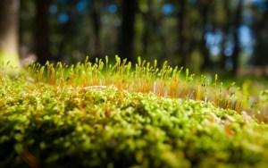 Исландский мох лечебные свойства