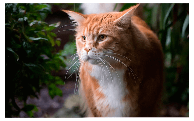 gato-maine-coon-livelong-rosto