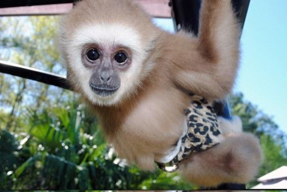 Saiuka the Baby Gibbon_1600x1074