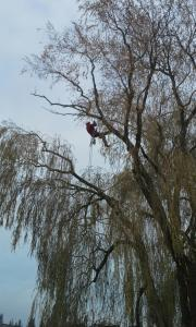 willow pruning