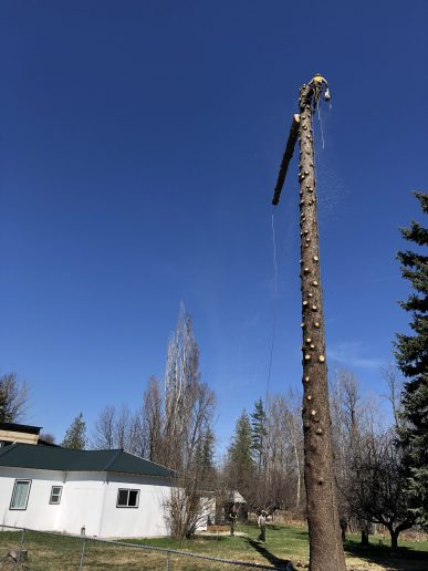 The top of a spruce tree is cut and pulled to the ground with a tag line