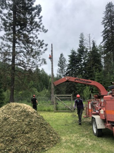 The crew at work with a climber in a tree and the chipper making a pile of woodchips