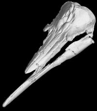 Skimmer porpoise skull and jaws Credit: Rachel Racicot