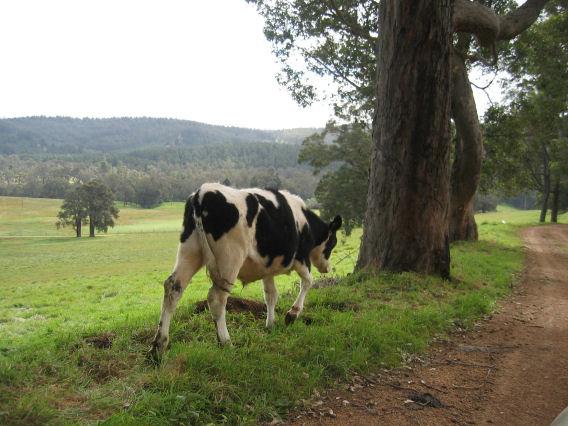 Driving hazards when you drive through farm land on a public road, near Bridgetown, Western Australia