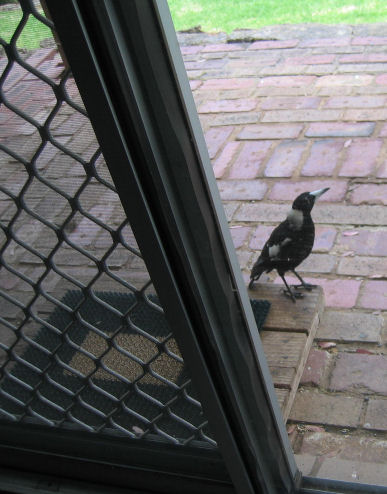 The reconnaisance magpie standing at the back door