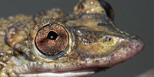 Greening's frog  (Corythomantis greening)