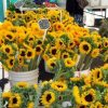 Sunflowers for A Sunny Day