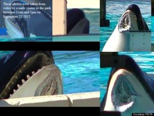 PETA-ORCA-INJURED-SEAWORLD-570