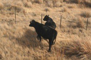 Amtrak jec cows 08