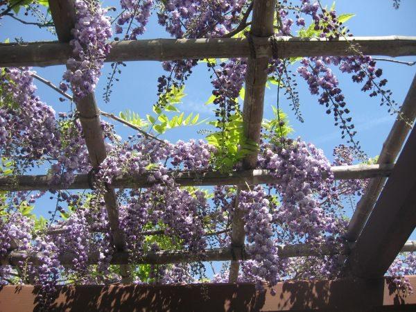wisteria 02 3_25_13