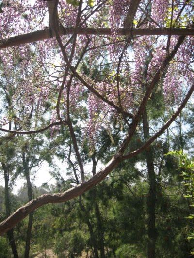 wisteria 10 3_25_13