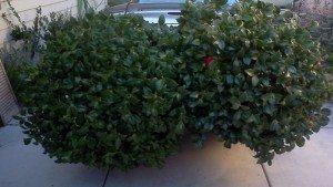 mulch Free-camellia-Craigslist