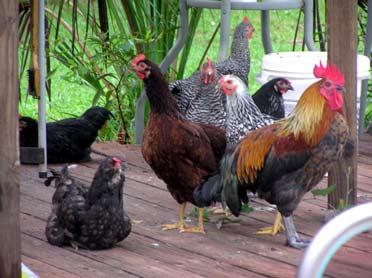 chickens backyard