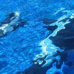 Farewell to Sea World Orca Kasatka