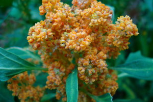 Chenopodium quinoa in flower. / commons.wikimedia.com