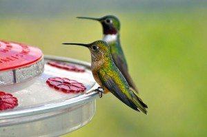 Hummingbirds_