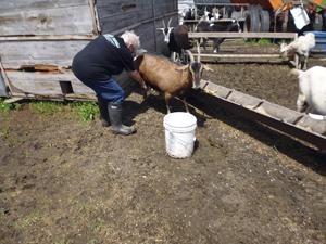 Judi milking a goat!