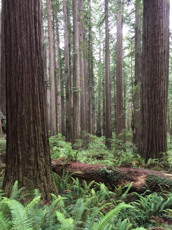 redwood2a