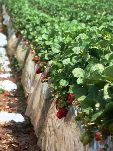 Strawberry fields in Carlsbad, April 2010, closeup
