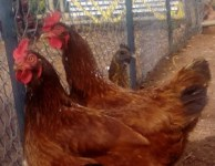 Two chickens: Lucy & Ethel