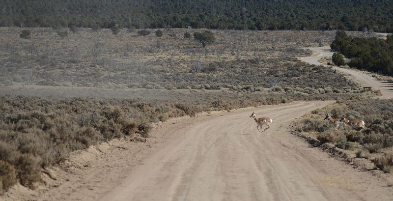 Pronghorn sprinting across the Cave Valley floor