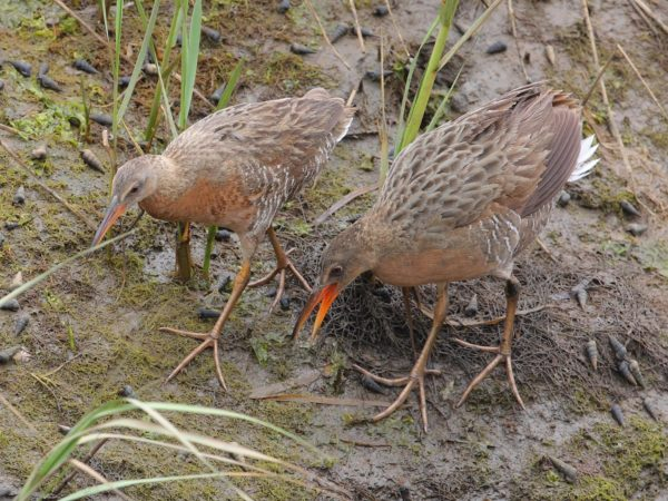 Light-footed Ridgway's Rail (LFRR)