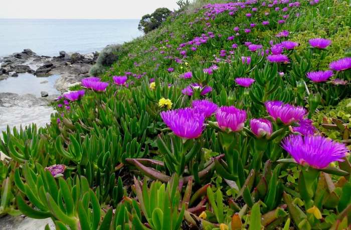 Wildflowers by the sea, Syros, Greece