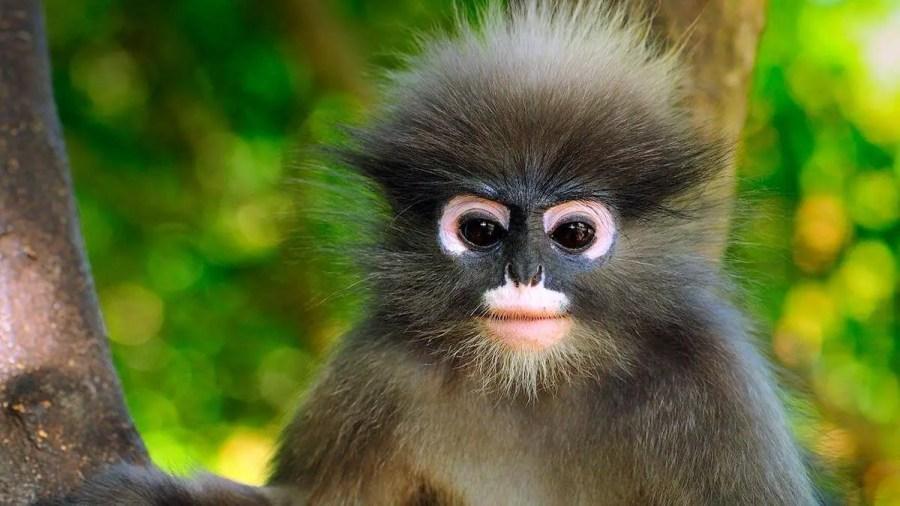 Dusky leaf monkey face in tree