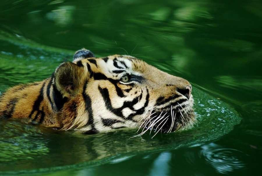 Tiger swimming-most interesting facts about Malaysia