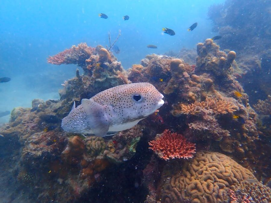 puffer fish with bright coral tioman