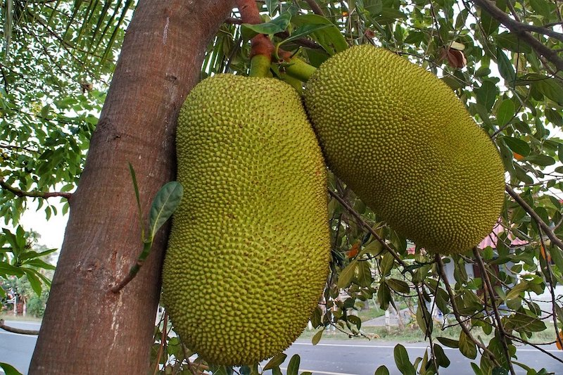 green jackfruit hanging on a tree. One of the most popular fruits of Malaysia