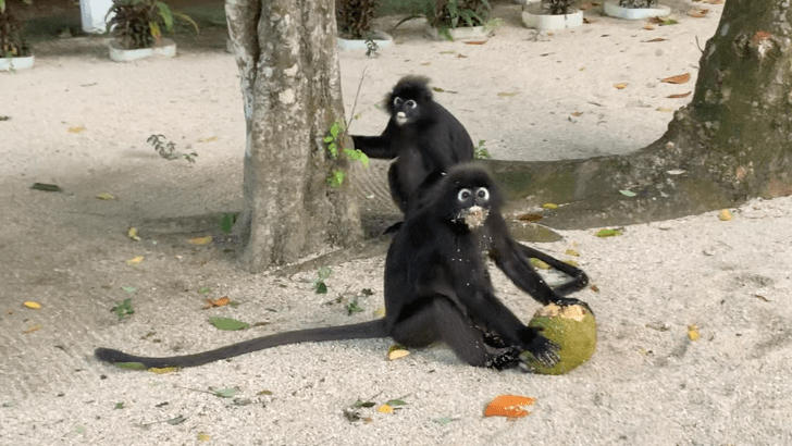 monkeys eating jackfruit