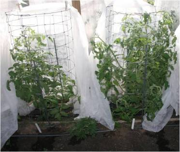 grafting tomatoes 4