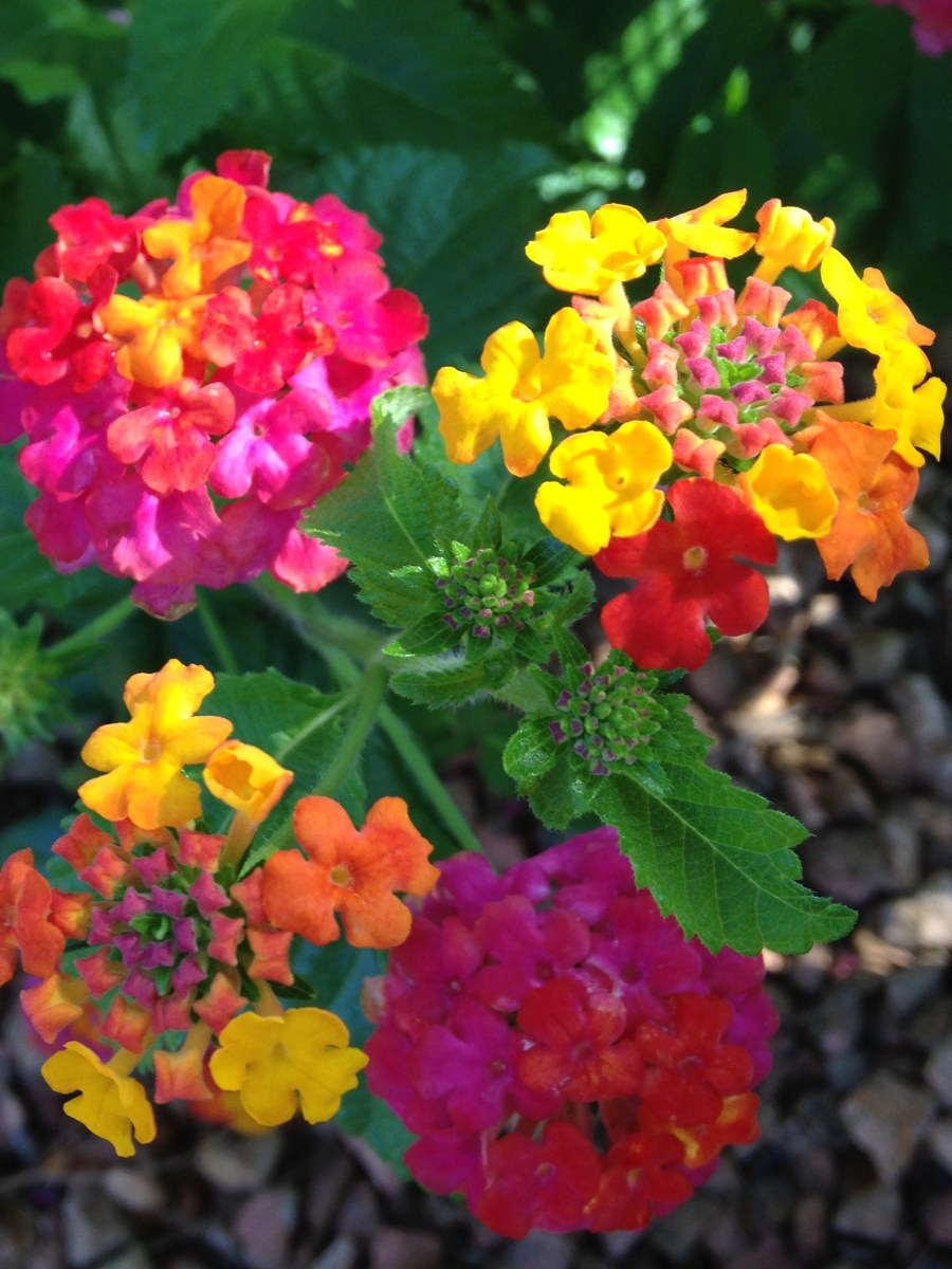 Plant Of The Month Lantana Sandoval County Master Gardeners