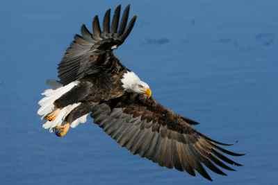 eagles-flying-water