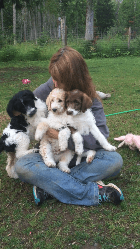 Info About Labradoodles And Bernedoodles From Sandpoint Doodles