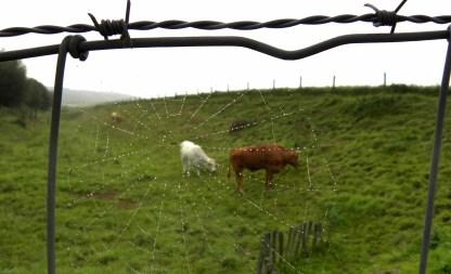 web koeien