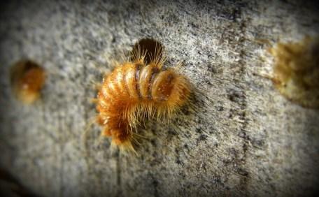 larve van Spekkever