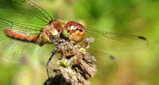Bruinrode-Heidelibel