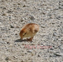 chick 4 rs watermark