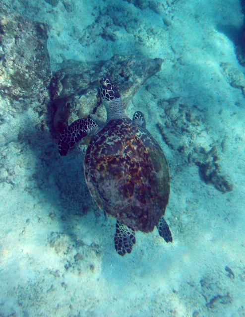 Sea turtle©2008GMonins