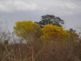 Araguaney, árbol nacional de Venezuela