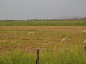 Garzas blancas, La Coposa, Edo. Lara